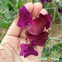 Душистый горошек Русский Размер Пурпурный  6 шт.